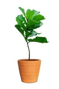 Fiddle leaf fig tree in a ceramic pot