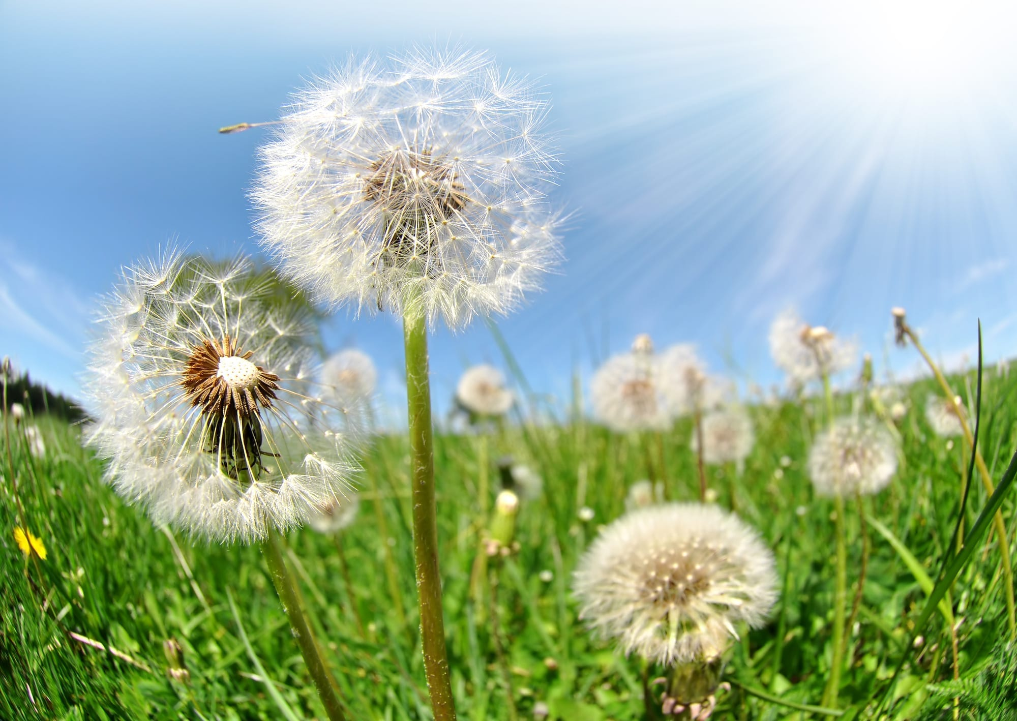 dandelions growing in a field